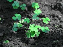 Common wood sorrel. Closeup of green common wood sorrel appearing very much like clover or shamrocks, in freshly turned forest soil.  Species:  Oxalis acetosella Royalty Free Stock Photos