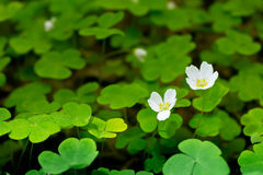 Common wood sorrel Stock Photo