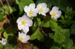 Common wood sorrel Royalty Free Stock Photos