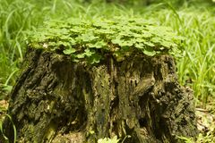 Old tree stump is covered wood sorrel leaves. Common wood sorrel growing on old stump in forest. Old tree stump is covered wood sorrel leaves, side view Royalty Free Stock Image