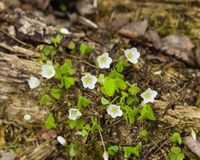 Common Wood Sorrel, Oxalis acetosella, flower macro with leaves defocused, selective focus, shallow DOF Royalty Free Stock Images