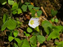 Common Wood Sorrel, Oxalis acetosella, flower macro with leaves defocused, selective focus, shallow DOF Royalty Free Stock Photography