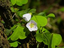 Common Wood Sorrel, Oxalis acetosella, flower macro with leaves defocused, selective focus, shallow DOF Stock Images