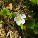 Common Wood Sorrel, Oxalis acetosella, flower macro with leaves defocused, selective focus, shallow DOF Stock Photography