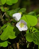 Common Wood Sorrel, Oxalis acetosella, flowers macro with leaves defocused, selective focus, shallow DOF.  stock photography