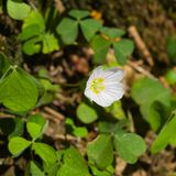 Common Wood Sorrel, Oxalis acetosella, flowers macro with leaves defocused, selective focus, shallow DOF.  royalty free stock photography