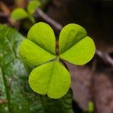 Common Wood Sorrel or Oxalis acetosella leaf macro, selective focus, shallow DOF Royalty Free Stock Photo