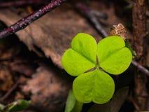 Common Wood Sorrel or Oxalis acetosella leaf macro, selective focus, shallow DOF Royalty Free Stock Photography