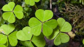 Common Wood Sorrel, Oxalis acetosella, leaves texture macro, selective focus, shallow DOF. Common Wood Sorrel Oxalis acetosella leaves texture macro, selective royalty free stock images