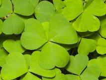Common Wood Sorrel, Oxalis acetosella, leaves texture macro, selective focus, shallow DOF Royalty Free Stock Photos
