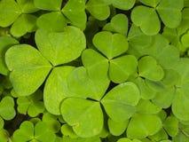 Common Wood Sorrel, Oxalis acetosella, leaves texture macro, selective focus, shallow DOF Stock Image