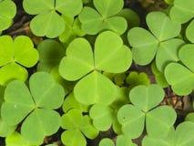 Common Wood Sorrel, Oxalis acetosella, leaves texture macro, selective focus, shallow DOF Stock Photography