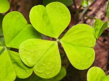 Common Wood Sorrel or Oxalis acetosella leaves texture macro, selective focus, shallow DOF Stock Images