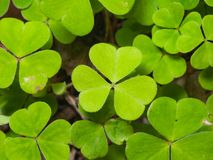 Common Wood Sorrel, Oxalis acetosella, leaves texture macro, selective focus, shallow DOF. Common Wood Sorrel Oxalis acetosella leaves texture macro, selective royalty free stock photography