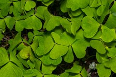 Common Wood Sorrel, Oxalis acetosella, leaves texture macro, selective focus, shallow DOF. Common Wood Sorrel Oxalis acetosella leaves texture macro, selective royalty free stock image
