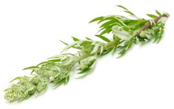 Common Wormwood (Artemisia Vulgaris) Royalty Free Stock Images