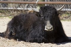Common Yak. A yak laying down royalty free stock image
