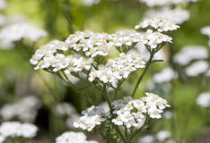 Common yarrow Stock Photo