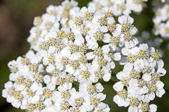 Common yarrow Royalty Free Stock Image