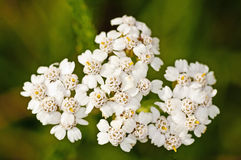 Common yarrow Royalty Free Stock Photos