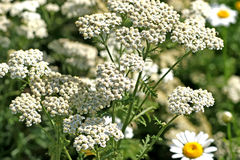 Common Yarrow Stock Photos