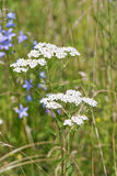 Common Yarrow Royalty Free Stock Photography