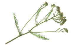 Common Yarrow & x28;Achillea millefolium& x29;. Flowering plant isolated against white backgroun royalty free stock images