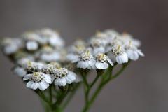 Common yarrow (Achillea millefolium). Macro photo of common yarrow (Achillea millefolium) flowers royalty free stock photography