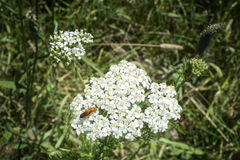 Common yarrow Achillea millefolium. Very common plant, one of the most well know flower. Having generally white flowers, there are some colonies with pink Stock Photos