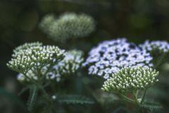 Common yarrow Achillea millefolium white flowers close up top view as floral background against green blurred grass stock image