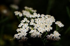 Common yarrow Achillea millefoliumwhite flowers close up top view as floral background against green blurred grass. stock photo