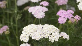 Common yarrow, Alchemilla millefolia, medicine plant stock video