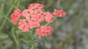 Common yarrow, Alchemilla millefolia, medicine plant stock video footage