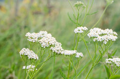 Common yarrow herb flowers Stock Image