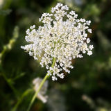 Common Yarrow (lat. Achillea millefolium) with green background Stock Image