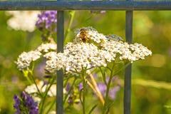 Common yarrow, medicinal herb with bee Stock Photos