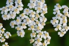 Common yarrow white flowers stock photo
