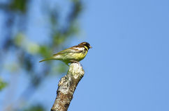 Common yellow-breasted bunting. Royalty Free Stock Images