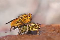Common yellow dung fly Royalty Free Stock Images