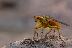 Common yellow dung fly (Scathophaga stercoraria) standing on cow pat Royalty Free Stock Photos