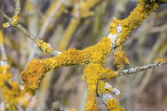 Common yellow lichen Xanthoria parietina on bark of tree in spring forest stock photo