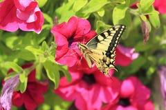 Common yellow swallowtail Royalty Free Stock Photos