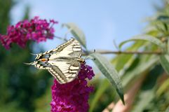 Common yellow swallowtail butterfly Papilio machaon. On pink Buddleja royalty free stock photo