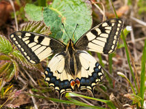 Common yellow swallowtail butterfly - Papilio machaon gorganus Royalty Free Stock Photography