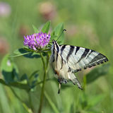 Common Yellow Swallowtail (Papilio machaon) Stock Image