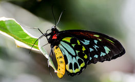 Common Yellow Swallowtail Royalty Free Stock Image