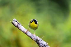 Common Yellow Throat. Royalty Free Stock Photos