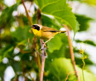 Common Yellow Throat. A broad black mask lends a touch of highwayman mystique to the male Common Yellowthroat. Look for these furtive, yellow-and-olive warblers Stock Image
