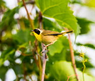 Common Yellow Throat. A broad black mask lends a touch of highwayman mystique to the male Common Yellowthroat. Look for these furtive, yellow-and-olive warblers Royalty Free Stock Photo