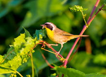 Common Yellow Throat. Royalty Free Stock Images